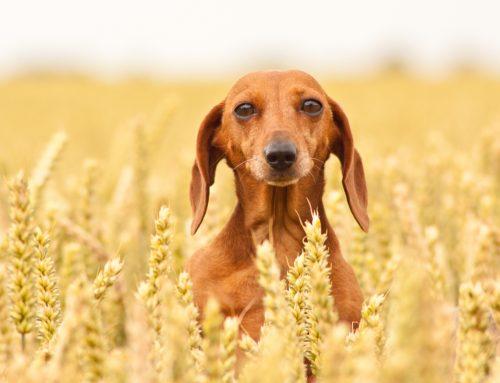Tutta la verità: i cereali fanno bene al tuo cane?