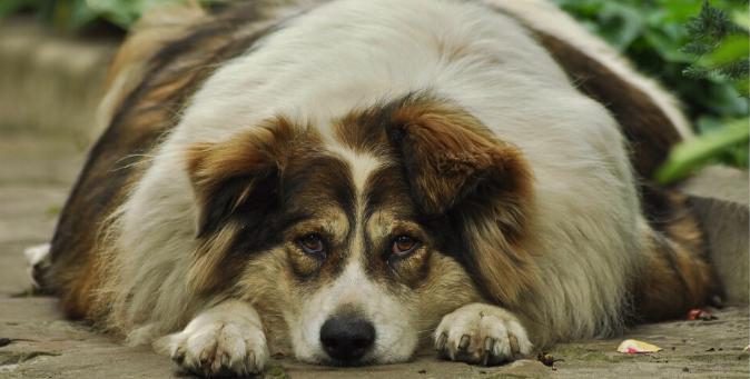 cane in sovrappeso cosa fare